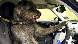 Driven down the road...by my dog?